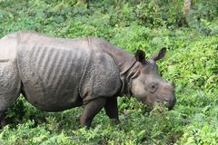 Meal of a One-Horned Asian Rhinoceros Royalty Free Stock Photography