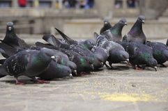 Meal of pigeons. Pigeons in a hurry eat millet Stock Image