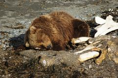 After Meal Snooze. Kodiak Brown Bear taking a nap after snacking on a washed up whale carcass in Kodiak, AK Royalty Free Stock Photography
