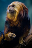Meal Time. This golden lion tamarin was enjoying a mid day lunch when it was startled by onlookers in the zoo tapping on its glass cage Stock Photo