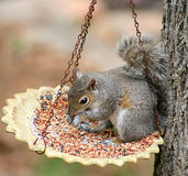Meal Time. Cute squirrel eating out of the bird feeder Royalty Free Stock Photography