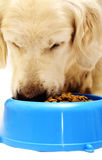 Meal time for dog Stock Images