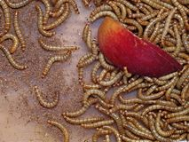 Meal worm Stock Photo