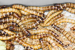 Meal worms Stock Image