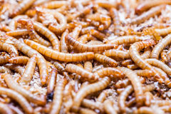 Meal worms larvae Stock Photos