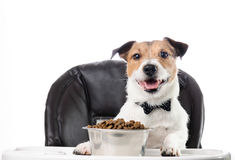Mealtime etiquette: dog in bow tie eating food at table. Jack Russell Terrier isolated on white at dinner Royalty Free Stock Photos