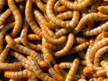 Mealworm abstract close up. Background Royalty Free Stock Images