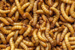 Mealworm Background Royalty Free Stock Image