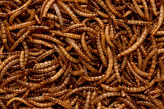 Mealworms Stock Image