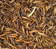 Mealworms Stock Photos