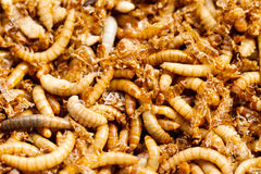 Mealworms Royalty Free Stock Photo