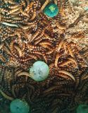 Mealworms Στοκ Εικόνες
