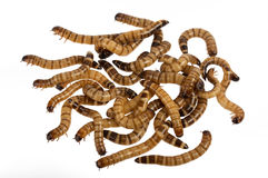 mealworms Στοκ εικόνες με δικαίωμα ελεύθερης χρήσης