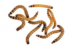 Mealworms. Some mealworms on white background Stock Photos