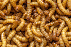 Mealworms Stock Photos