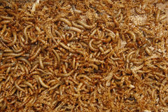 Mealworms. Close up image of mealworms Stock Photos