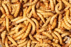 Mealworms (Tenebrio molitor) Stock Photos