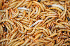 Mealworms Stock Photo
