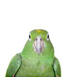 Mealy Amazon isolated on white Stock Photos