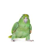 Mealy Amazon isolated on white Royalty Free Stock Photography