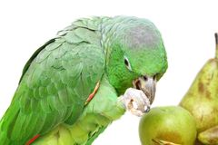 Mealy Amazon parrot eating on white Stock Images