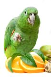 Mealy Amazon parrot eating on white Stock Image