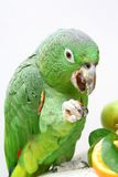 Mealy Amazon parrot eating on white Stock Photography