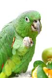 Mealy Amazon parrot eating on white Royalty Free Stock Photos