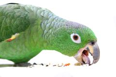 Mealy Amazon parrot on white background Stock Photo