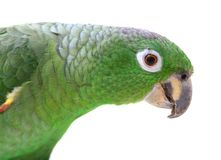 Mealy Amazon parrot on white background Royalty Free Stock Image