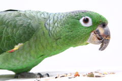 Mealy Amazon parrot on white background Stock Photos