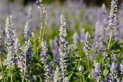 Mealy Cap Sage  flower (Salvia farinacea) Stock Photos