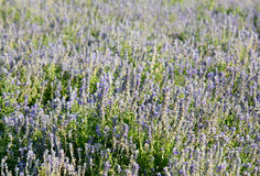 Mealy Cap Sage  flower (Salvia farinacea) Royalty Free Stock Photography