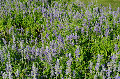 Mealy Cap Sage  flower (Salvia farinacea) Stock Photography