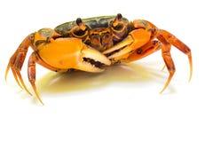 Mealy crab(Thaipotamon chulabhorn) Stock Photography