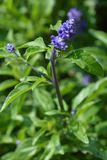 Mealy Cup Sage royalty free stock photos