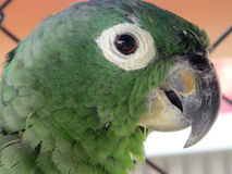 Mealy Parrot Royalty Free Stock Image