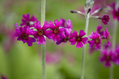 Mealy primrose Royalty Free Stock Photo