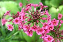 Free Mealy Primrose Flowers - Primula Pulverulenta Stock Photos - 89523773