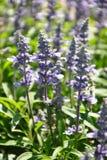 Mealy sage (Salvia farinacea) Stock Photo