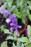 Mealy Sage, Salvia farinacea Royalty Free Stock Images