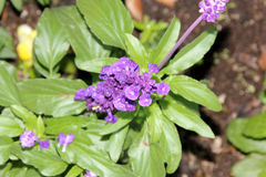 Mealy Sage, Salvia farinacea Stock Image