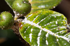 Mealybug on leaf figs. Plant aphid insect infestation. Mealybug on leaf figs. Plant insect infestation Stock Photo
