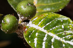 Mealybug on leaf figs. Plant aphid insect infestation Stock Photos