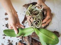Mealybug parasítico nas folhas das orquídeas Parasita em plantas Doenças das plantas imagem de stock royalty free
