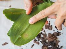 Mealybug parassitario sulle foglie delle orchidee Parassiti sulle piante Malattie delle piante Fotografia Stock Libera da Diritti