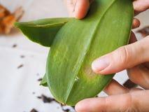 Mealybug parassitario sulle foglie delle orchidee Parassiti sulle piante Malattie delle piante Fotografia Stock