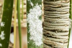 Mealybugs (długoogonkowy pseudococcus) na palmtree liściu Zdjęcia Stock