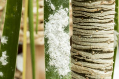 Mealybugs (pseudococcus de cola larga) en una hoja del palmtree Fotos de archivo
