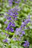Mealycup sage flower Stock Image